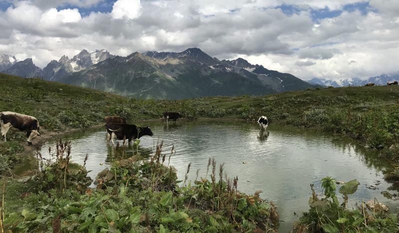 jeziorka koruldi krowy na drodze do mestii